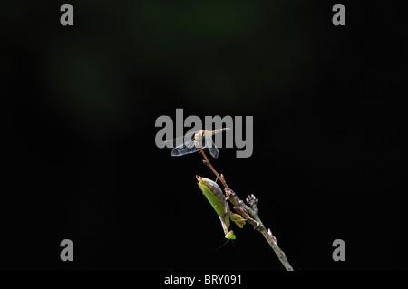 Praying mantis and dragonfly, Chiba Prefecture, Honshu, Japan - Stock Photo