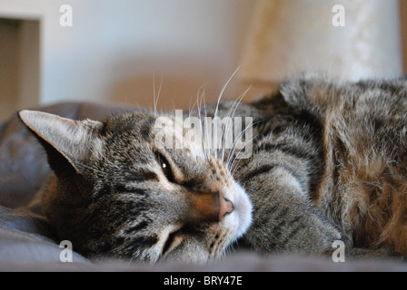 Adult cat lying half asleep on a bed with grey sheets. - Stock Photo