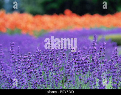 Field of lavenders and lilies, differential focus, Sapporo city, Hokkaido prefecture, Japan - Stock Photo