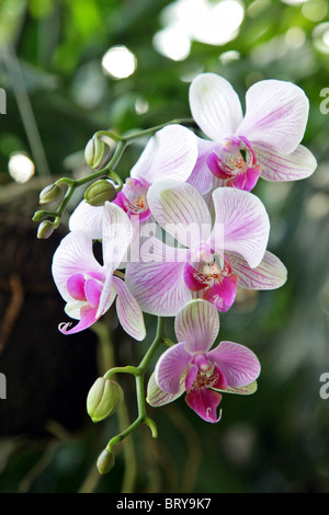 FLOWERING ORCHARD IN THE TROPICAL GREENHOUSE, ROYAL BOTANICAL GARDENS, MADRID, SPAIN - Stock Photo