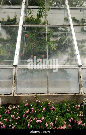 old decrepit victorian style greenhouse peeling paint disused disrepair housing growing espaliered fruit apples - Stock Photo