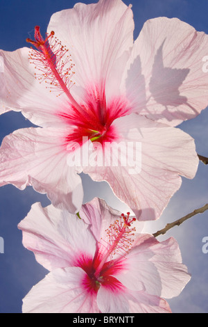 Pink Hibiscus Against The Sky - Stock Photo