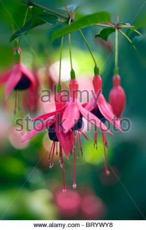 Fuchsia magellanica ' Riccartonii' pink flower heads with soft bokeh background - Stock Photo