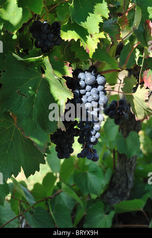 Vine - Grape - vineyard (Vitis vinifera) french table grape 'Alphonse Lavallée' - Vaucluse - Provence - France - Stock Photo
