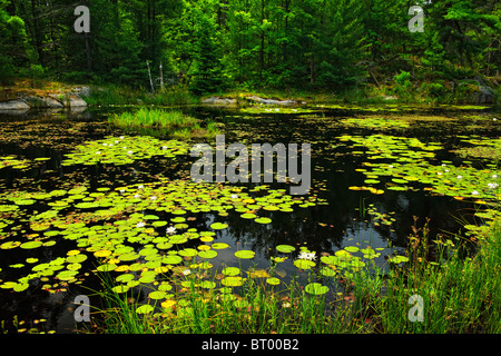 Lily pads and water lilies on lake surface in Northern Ontario wilderness - Stock Photo