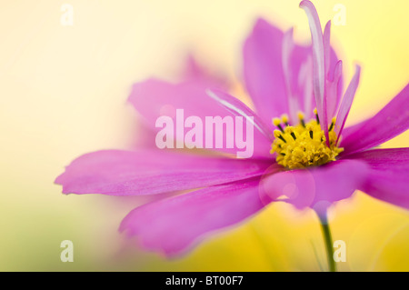 A single Pink Flower head of Cosmos Sonata 'Sensation' with Lens flare
