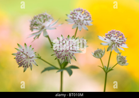 Close-up image of the beautiful summer flowering Astrantia major flower commonly known as Masterwort, image taken - Stock Photo