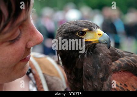 HARRIS' HAWK, FALCONRY AND BIRDS OF PREY SHOW - Stock Photo