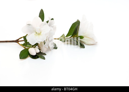 lose-up of white Rhododendron flower on white background - Stock Photo