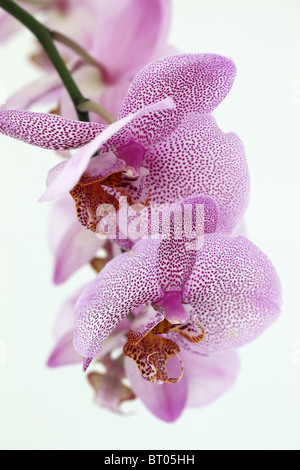 Close up of an Orchid stem of pink spotted orchids against a white background - Stock Photo