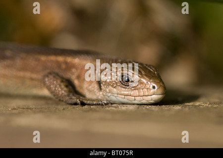 Common (Viviparous) Lizard, (Lacerta vivipara / Zootoca vivipara), basking on wood, September.