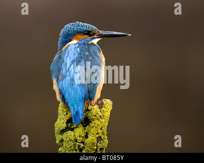 Male common kingfisher perched - Stock Photo