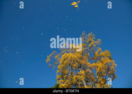 A beautiful yellow leaved tree sheds it's fall coloured leaves in the wind at Kew Gardens in the autumn, London. - Stock Photo