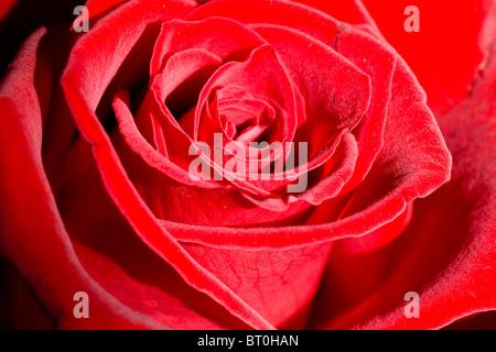 Romantic beautiful red rose close-up. Selective focus. - Stock Photo