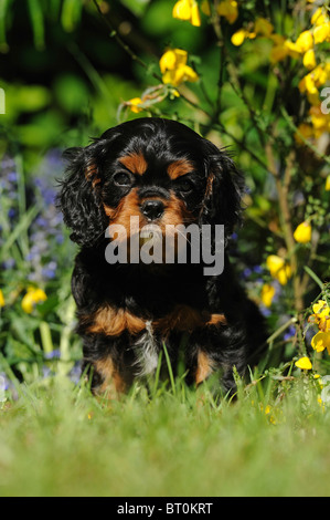 Cavalier King Charles Spaniel (Canis lupus familiaris). Puppy sitting in a flowering garden. - Stock Photo