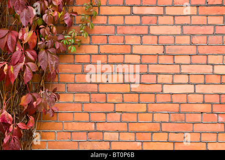 wall with vine. brick wall covered in ivy. - Stock Photo