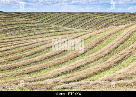 Rows of harvested, swathed wheat on farm field.  Tiger Hills, Manitoba, Canada. - Stock Photo
