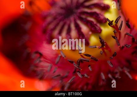 Macro image of a red Oriental Poppy - papaver Orientale