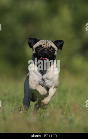 Pug (Canis lupus familiaris). Young dog running on a meadow towards the camera. - Stock Photo