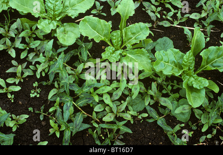 Young sugar beet on Fen soil redshank, Polygonum maculosa, weed infestation - Stock Photo