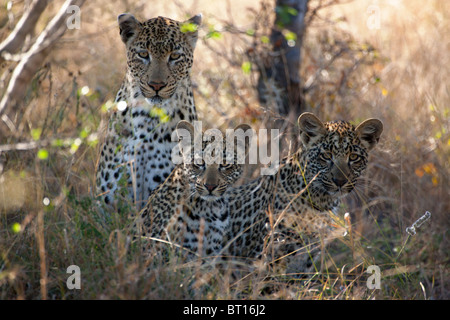 Leopard Cubs with Mother in High Grass - Stock Photo
