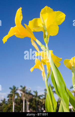 canna lily with a blue sky - Stock Photo