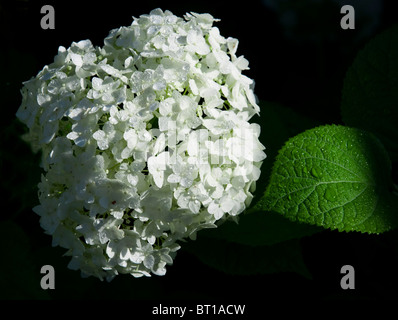White hydrangea flowers and green sheet with raindrops against black background. - Stock Photo