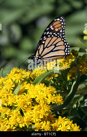 Monarch Butterfly, Danaus plexippus, feeding on Seaside Goldenrod, Solidago sempervirens, as it migrates on the - Stock Photo