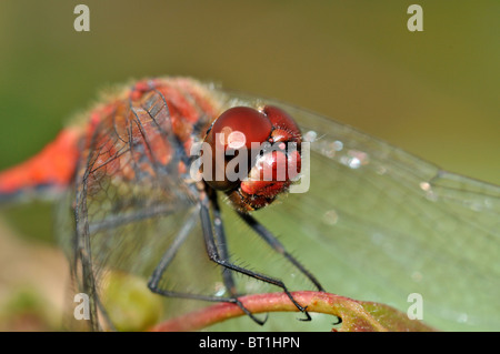 Big red face with red eyes of red dragonfly