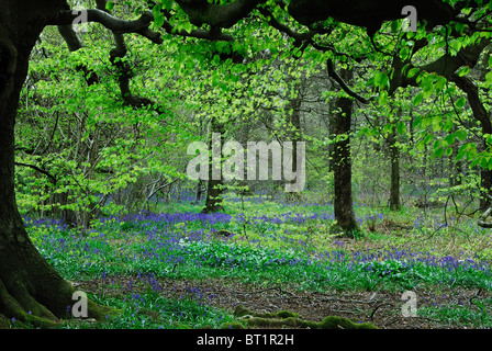 Delcombe Wood in spring, Dorset, UK May 2008 - Stock Photo