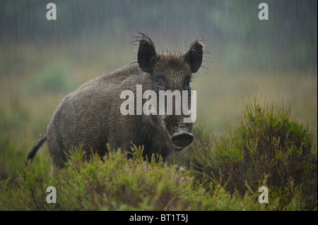Wild Boar (Sus scrofa). Young female standing in rain, Netherlands. - Stock Photo