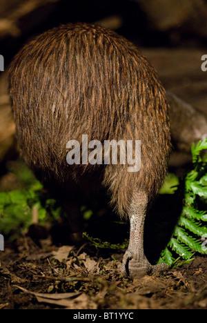 North Island Brown Kiwi Apteryx mantelli New Zealand - Stock Photo