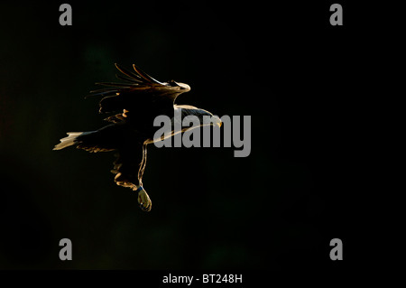 White-tailed Eagle (Haliaeetus albicilla), adult in flight. Stock Photo