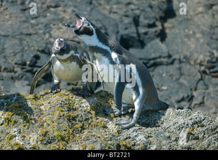 Humboldt Penguin (Spheniscus humboldti), Courting Pair, ENDANGERED, Chiloe Island, Chile - Stock Photo