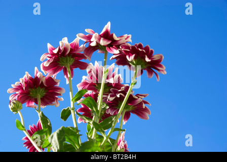 chrysanthemums on a background sky - Stock Photo