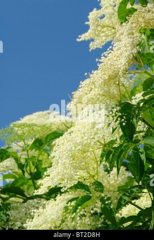 Holunder Blüte - elder flower 17 Stock Photo