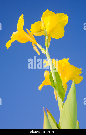 Canna indica with yellow flowers against a blue sky - Stock Photo