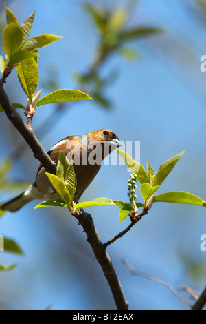 The Common Chaffinch (Fringilla coelebs) is in the wild nature. - Stock Photo