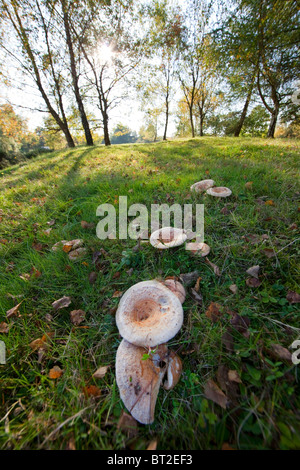 Fungi in the Forest of Dean Gloucestershire England UK - Stock Photo