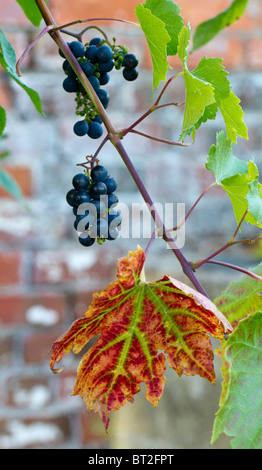 Black grapes growing on the vine with leaf turning an autumnal red - Stock Photo