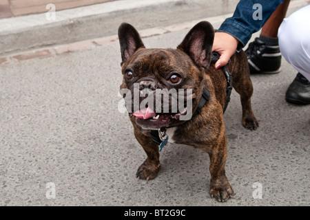 Brindled brown French Bulldog - Stock Photo