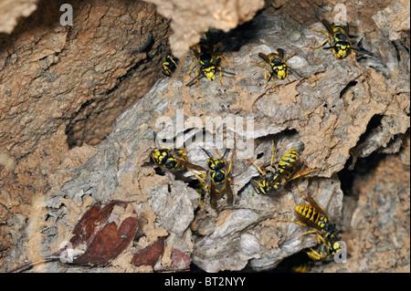 Common wasps (Vespula vulgaris) in underground nesting chamber - Stock Photo
