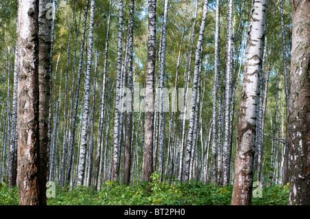 Autumn primeval birch`s forest - Stock Photo