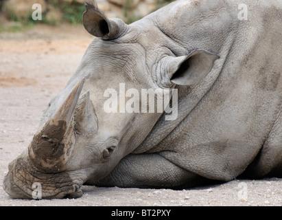 Southern White Rhinoceros - Ceratotherium simum simum - Stock Photo