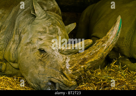 Rhino taking a rest, paint on its horn - Stock Photo