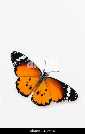 Danaus chrysippus. Plain tiger butterfly on a white background. India - Stock Photo