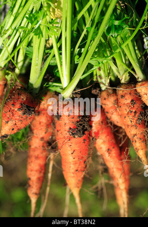Freshly picked organic homegrown carrots.