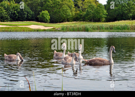five baby swans on a lake - Stock Photo