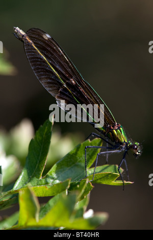 Female Beautiful Demoiselle Calopteryx virgo - Stock Photo