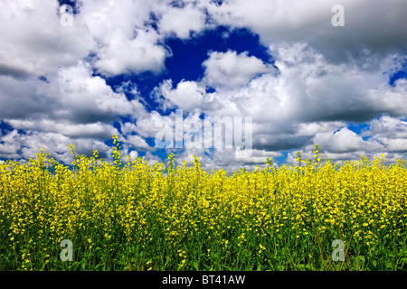 Agricultural landscape of canola or rapeseed farm field in Manitoba, Canada - Stock Photo